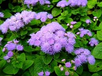 Flossflowers (aka Ageratum)