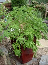 "Potted citronella... more ""manageable"""
