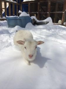 Webster the visiting lamb