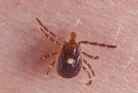 The lonestar tick... bigger than a deer tick and the tell tale white spot on its back